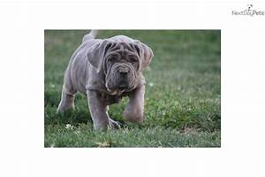 Meet Absolutely Amazing! a cute Neapolitan Mastiff puppy ...
