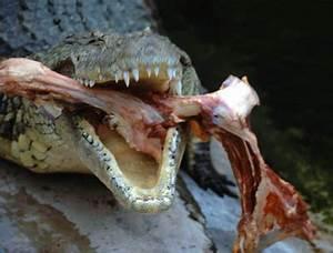 Nile Crocodile Attacks On Humans | Crocodiles attack ...