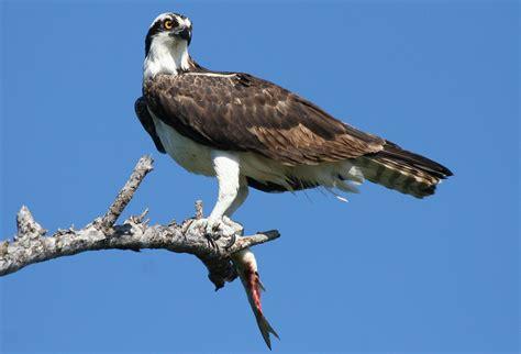Osprey | The Life of Animals