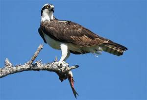 Osprey | The Life of Animals