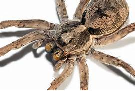 Spiders aren't Scary — Wolf Spider