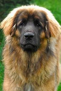 Leonberger Dog Breed Information and Pictures