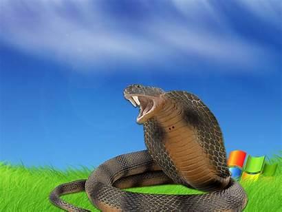 Wallpapers Cobra King Snake Kobra Walpaper Cool