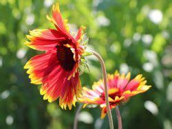 gro 223 blumige kokardenblume fackelschein gaillardia x grandiflora fackelschein baumschule
