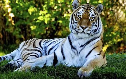 Tiger Animal Animated Desktop Backgrounds Nature Number