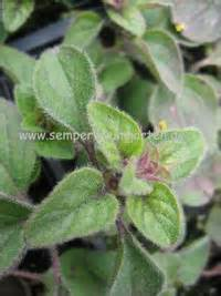 Welche Pflanzen Passen Gut Zu Hortensien : ausgew hlte stauden welche gut zu winterharten ~ Lizthompson.info Haus und Dekorationen