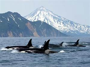 They're Born Free: killer whale culture: built on family ...