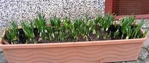 Tulpenzwiebeln Im Topf Pflanzen : narzissen im blumenkasten pflanzen jk 39 s pflanzenblog ~ Lizthompson.info Haus und Dekorationen