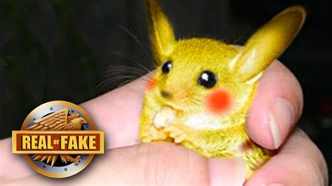 Real Life Pikachu Captured Real Or Fake Youtube