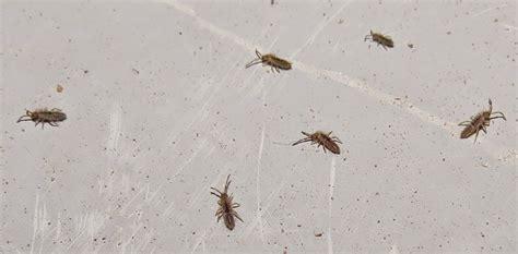 Please Help Me Identify Tiny Black Bugs Found
