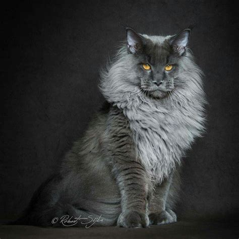 do maine coons shed in the summer 25 best ideas about cat on simple animal