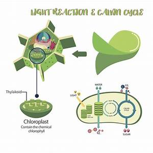 All You Need To Know About Photosynthesis And Cellular