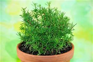 Lavendel Im Topf überwintern : olivenkraut santolina viridis pflege und vermehren ~ Frokenaadalensverden.com Haus und Dekorationen