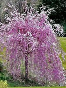 Taille Du Saule Pleureur : cerisier du japon 39 kiku shidare sakura 39 jardinage cerisier japonais arbres nains et arbre ~ Melissatoandfro.com Idées de Décoration