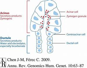 Components And Secretory Products Of The Exocrine Pancreas  Cftr Is