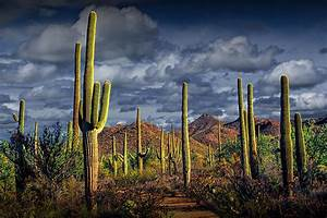 Saguaro Cactus Forest Near Tucson Arizona Photograph by