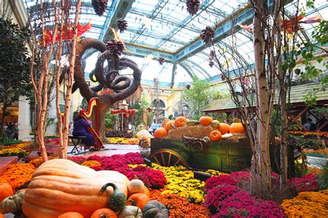 bellagio conservatory s fall display is blooming beautiful