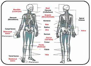 Skeletal System Web Page Assignment   Biological Science
