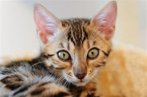 hybrid cats   beautiful  heres