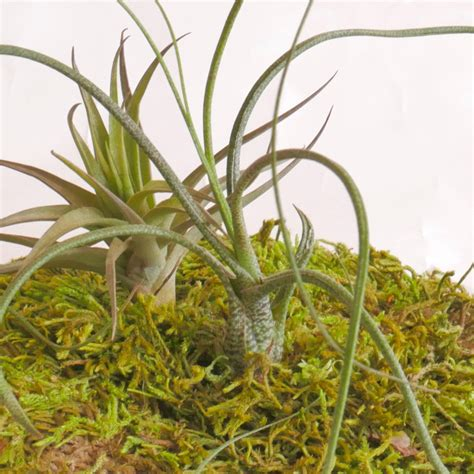 air plants watering air plant care for your wabimoss piece wabimoss