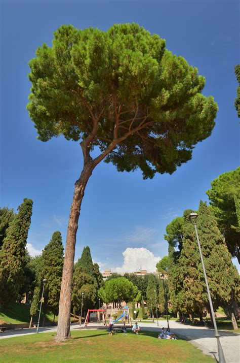 italian pine tree things to do in rome for three days 7609