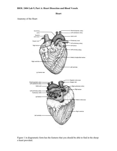 The difference in the structural characteristics of arteries, capillaries and veins is attributable to their. BIOL 2404 Lab #17: Heart Dissection and Blood Vessels