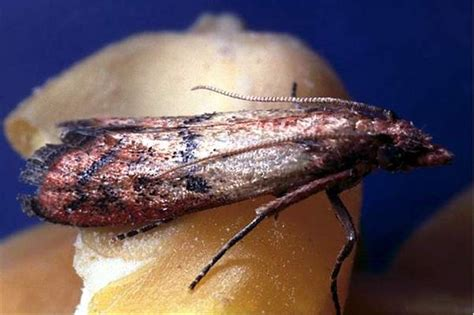 https://keys.lucidcentral.org/keys/v3/eafrinet/maize_pests/key/maize_pests/Media/Html/Plodia_interpunctella_(Hubner_1813)_-_Indian_Meal_Moth.htm
