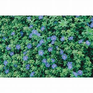 Shop 1-Quart Blue Daze Evolvulus (L6408) at Lowes com
