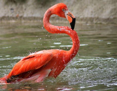 american flamingo potawatomi zoo