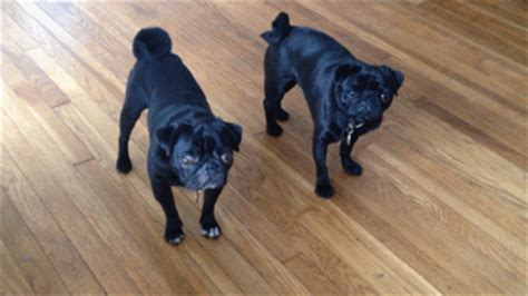 black pug gifs wifflegif