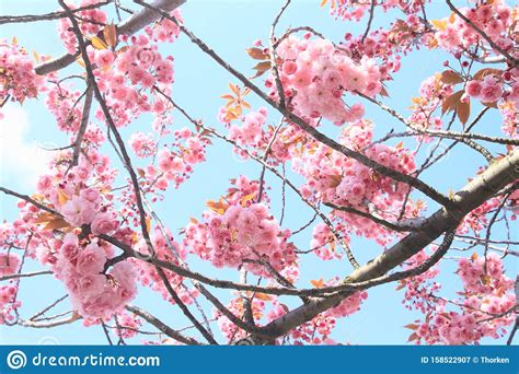 Pink Spring Blooms Of Japanese Cherry Tree Stock Image