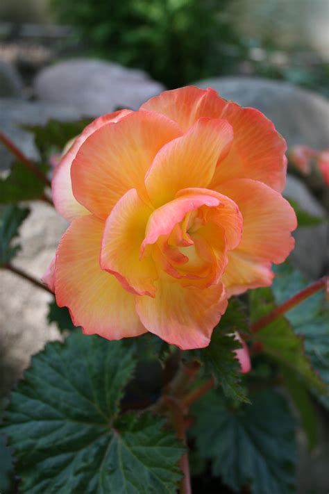 when do begonias bloom planting tuberous begonias garden bulb blog flower bulbs gardening tips
