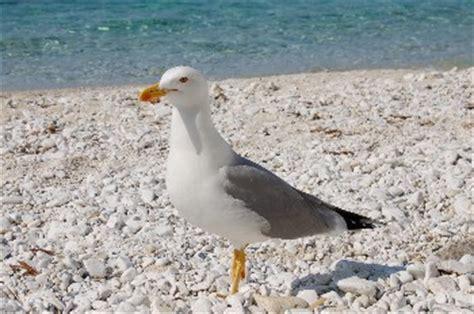 Uccello Simile Al Gabbiano - curiosit 224 sull isola d elba e l arcipelago toscano