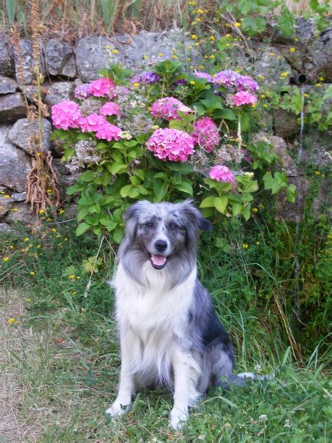 australian colors australian shepherd color genetics