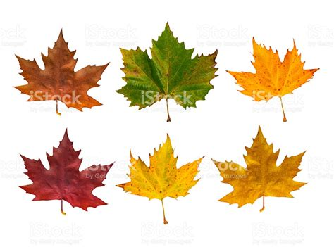 different maple tree leaves autumn maple leaves in different colours stock photo 482612170 istock