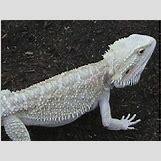 Leucistic Bearded Dragon | 500 x 375 jpeg 43kB