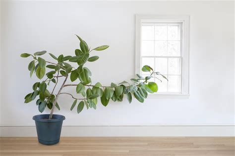 grow ls for indoor plants how to grow healthy ficus trees at home