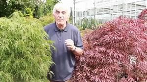 Japanischer Ahorn Im VOLAT Gartentipp YouTube