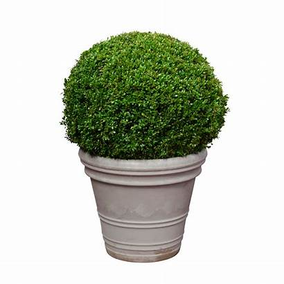 Buxus Plant 50cm Bol Femat Zoomen Klik