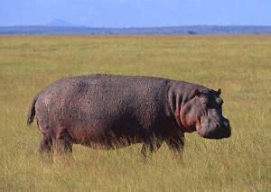 mamiferos clase mammalia caracteristicas informacion tipos