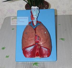 Larynx  Heart And Lung Respiratory System Anatomical Model