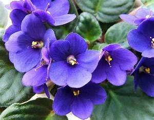 African Violet (Saintpaulia)   Our House Plants