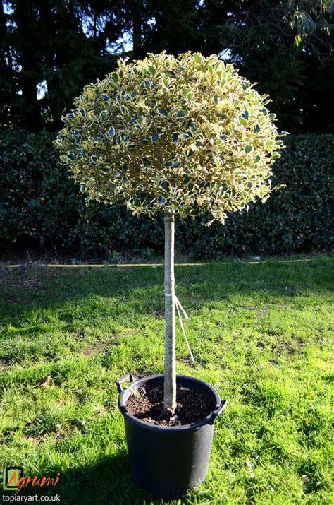 Standard Topiary Tree