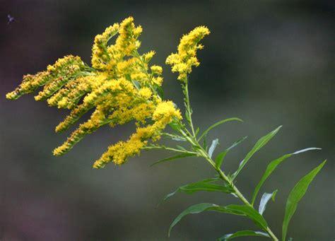 golden rod goldenrod blitz saturday 27th july warren farm nonsuch lower mole countryside trust