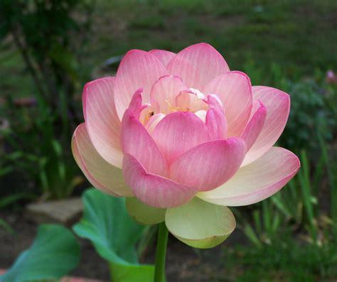 lotus belog makcik