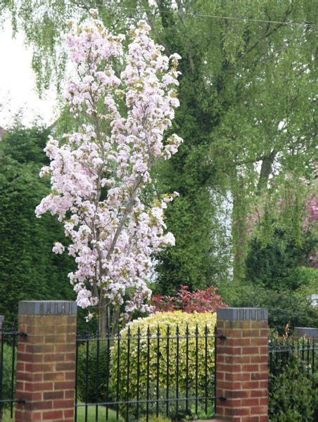 prunus trees for small gardens 15 best images about small garden trees on pinterest sky trees and cherries
