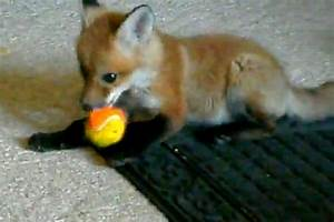 Baby red fox playing - Daily Picks and Flicks