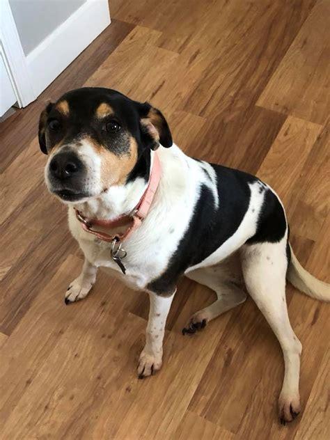 dog  adoption luck  rat terrier beagle mix