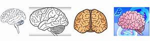 How To Draw A Brain  The Easy Way  Its Parts  Stem