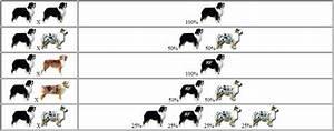 Australian Shepherd Color Genetics Chart For A